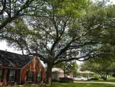 25 Live Oak Pruning