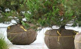 img_tree-sales Tree Sales